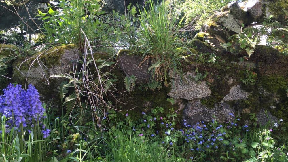 een klein stenen muurtje, overgroeid met vetplanten en kleine wilde boshyacinten en vergeetmetnietjes