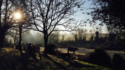 koe in winterlandschap frankrijk met tegenlicht